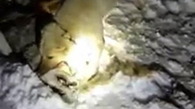 Sürüye saldıran kurdu kangal köpekleri boğdu