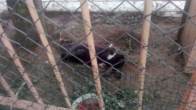 Aç kalan sokak köpekleri tavşanları parçaladı