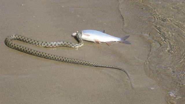Yılanın balık avı
