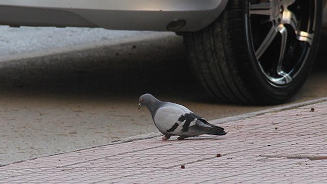 Vicdan fukaraları zavallı güvercinin ayaklarını kesti