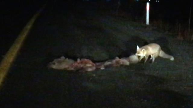 Kış uykusu için yer ararken telef olan ayı tilkiye yem oldu