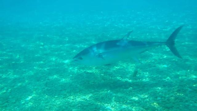 Ünlü sahilde orkinos ve aslan balığı görüntülendi