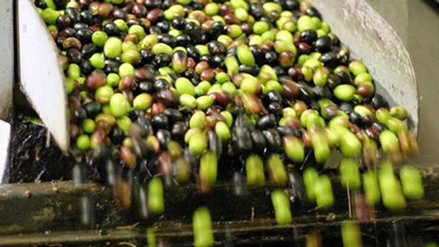 Marmarabirlik zeytin alım fiyatlarını açıkladı