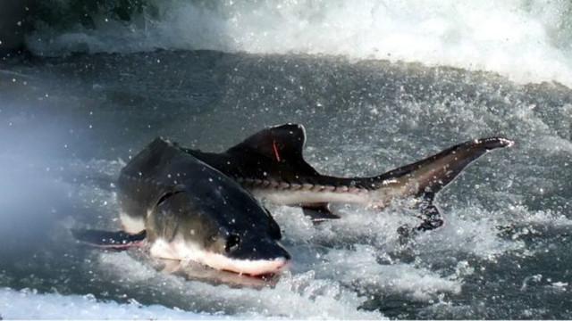 6 bin mersin balığı öldü, köprü inşaatı durdu