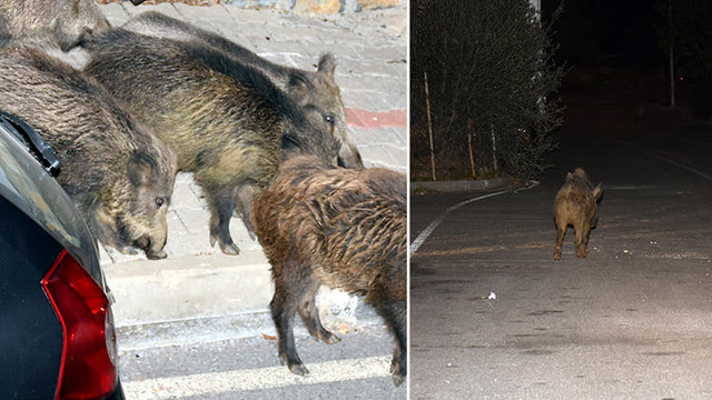 Yaban domuzları Bodrum sokaklarını mesken tuttu