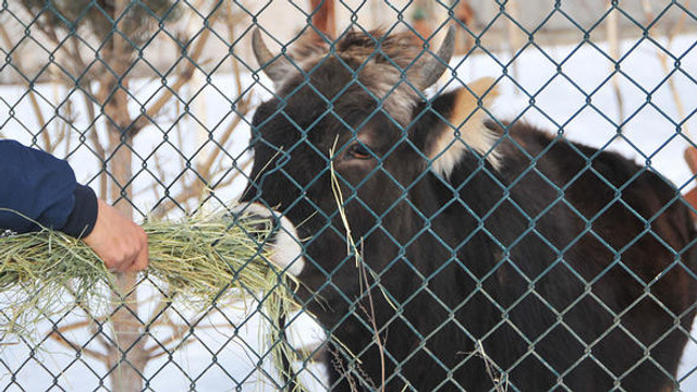 Kazaya karışan inek 18 aydır gözaltında