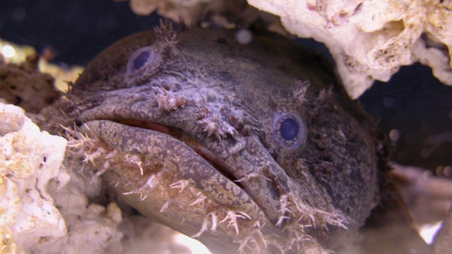 Kurbağa balıklarının telefon titreşimine benzer seslerini dinleyin