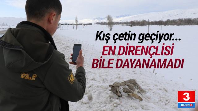 Sivas'ta soğuktan donmuş kurt bulundu