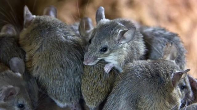 Kadının yaşadığı karavandan 320 fare çıktı !