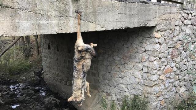 Bunun adı vahşet ! Köprüye asılı kurt ölüsü bulundu