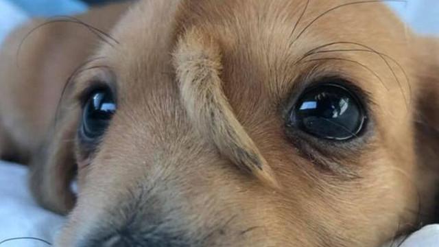 Alnından kuyrukla doğan köpek şaşırttı