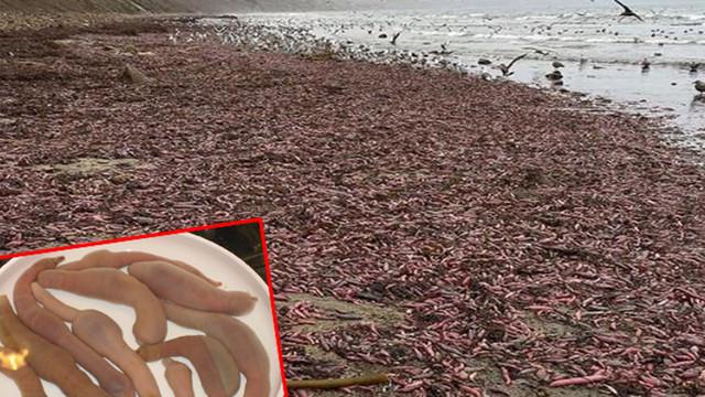 Binlerce ''penis balığı'' kıyıya vurdu!