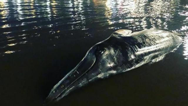 Üçüncü kez ölü balina kıyıya vurdu!