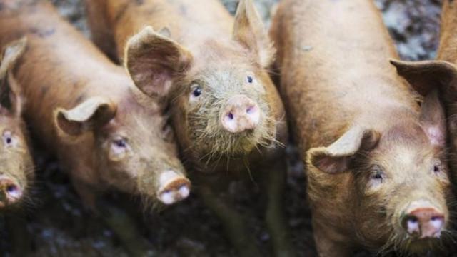 Bir kişiyi beslediği domuzları yedi