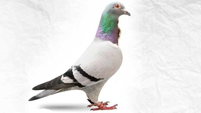 Dünyanın en pahalı güvercini satıldı