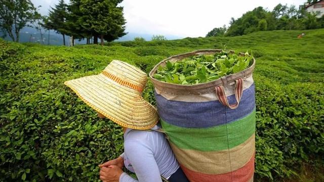 2019 yılı yaş çay alım fiyatları açıklandı