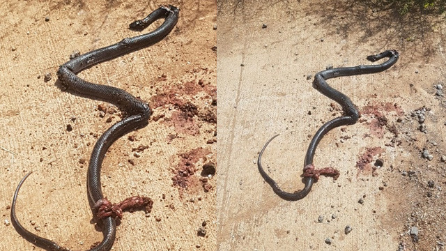 Tarlada dev yılan paniği
