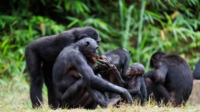 Zenginlerin son iğrençliği bu oldu: Maymun eti !