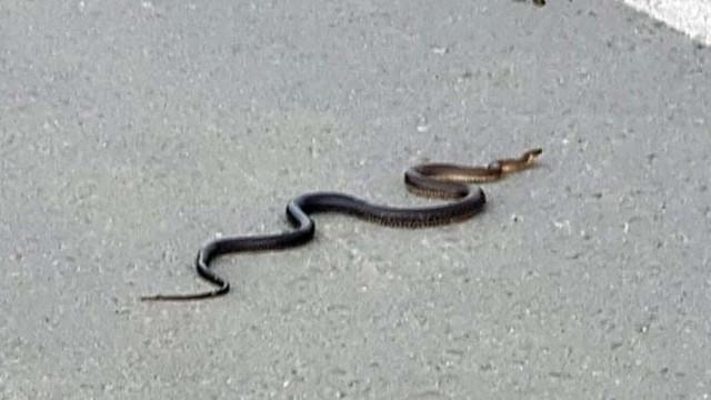 Ordu'da yılan istilası uyku uyutmuyor