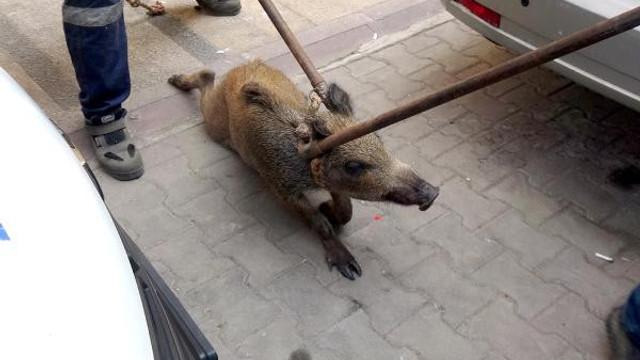 Şehrin göbeğinde yaban domuzu şoku !