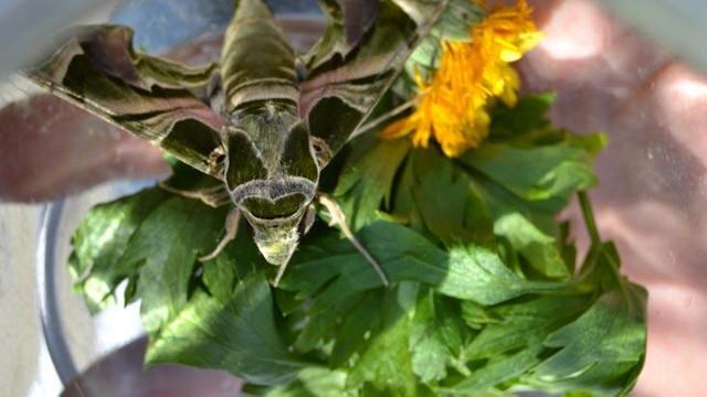 Manisa'da Mekik Kelebeği bulundu !