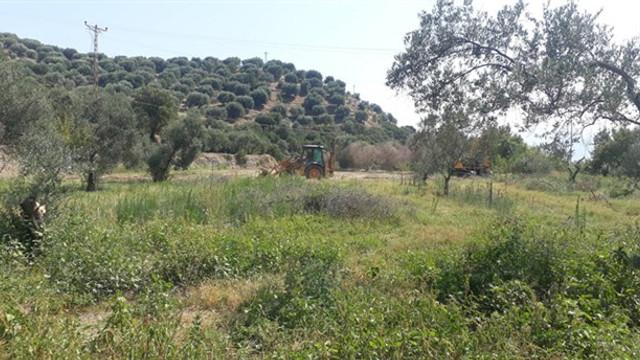 JES için zeytin ağaçları katledildi