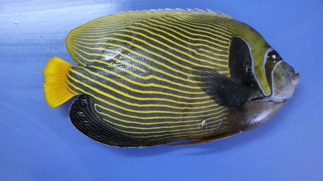 Akdeniz'de yeni bulunan balığa 'Fenerbahçe' adı verildi