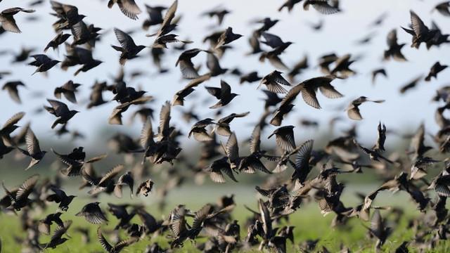 Artan toplu kuş ölümleri için kritik açıklama