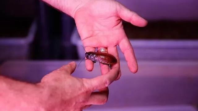 Bir çok kişinin tiksindiği hamam böceğinin tanesini 10 bin TL'ye satıyor!