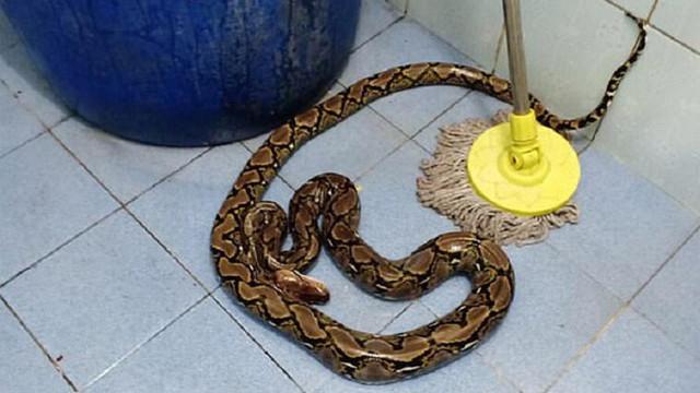 Tuvaleti kullanan kadını piton yılanı ısırdı!