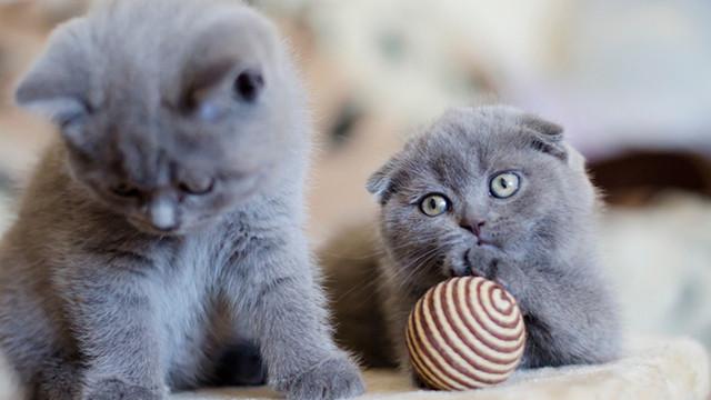 Scottish Fold (Kedi) Tüm Özellikleri ve Karakteri