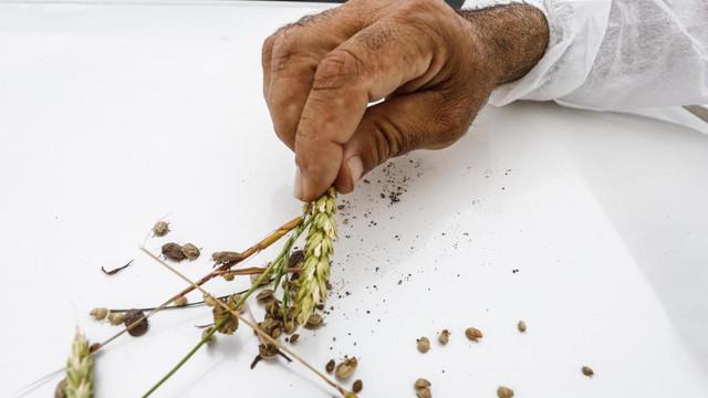 Türkiye'de yeni alarm! 8 ilimizde böcek istilası