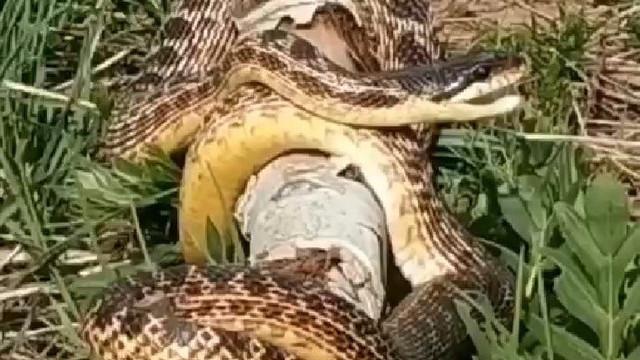 Türkiye'de görülen devasa yılan korku saçtı!