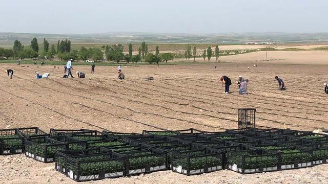 Ankara'da ekinler halka ücretsiz dağıtılacak