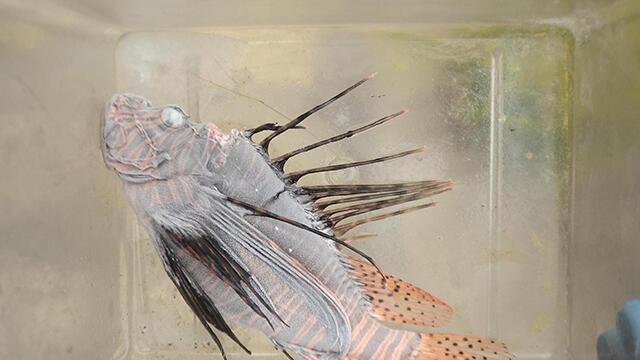 Dünyanın en zehirli balığı Kuşadası'nda görüldü