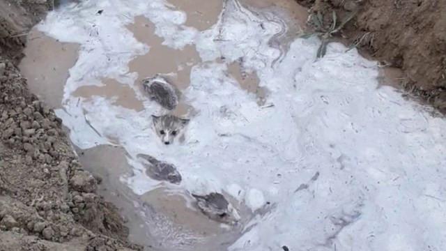 Su kanalı içerisinden çıkan 10 kurt yavrusu şaşkınlık yarattı