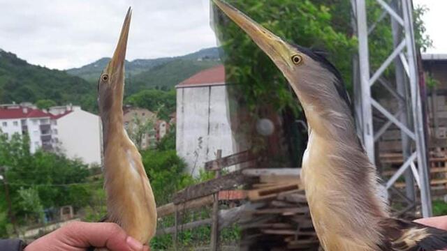 Nesli tükenmekte olan balaban kuşu bu kez Sinop'ta görüldü