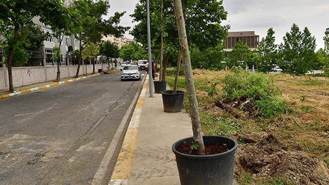 Sel felaketinde zarar gören 83 ağaç yerine, çınar ağaçları dikilecek