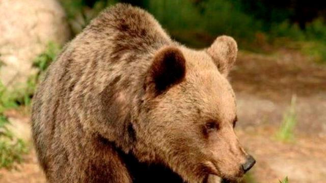 Baba ve oğluna saldıran ayının öldürülmesine karar verildi! İtalya karıştı