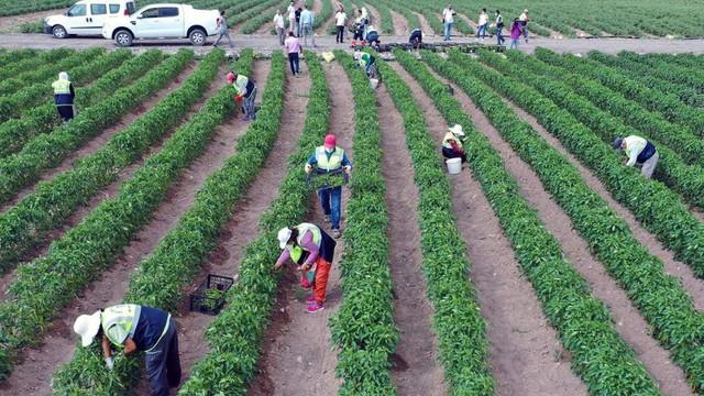 Ankara'da Büyükşehir'in tarım arazilerinde hasada başlandı
