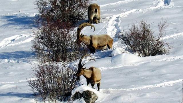 Dağ keçilerinin katledilmesi için bir ihale daha