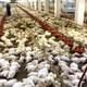 Çiftlikteki 20 bin tavuk telef oldu