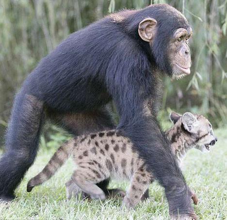 Pumaya annelik yapıyor