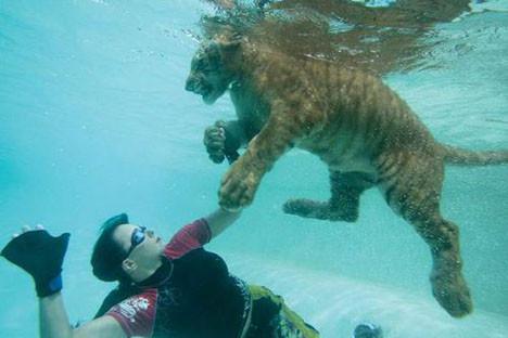 Kaplanlarla yüzüyorlar
