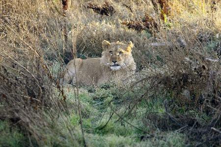 Evcil aslanından böyle ayrıldı