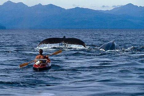 Balinalar beslenirken görüntülendi