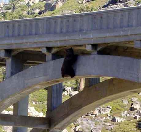 Köprüde ayı var !