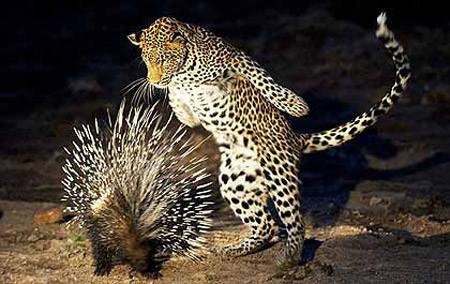 Leopar neye uğradığını şaşırdı!