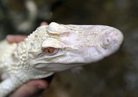 Avrupa ın ilk albino timsahları