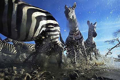 Aslan zebrayı böyle avladı